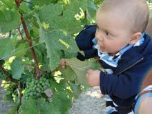 My six-month-old explores a Niagara Vineyard
